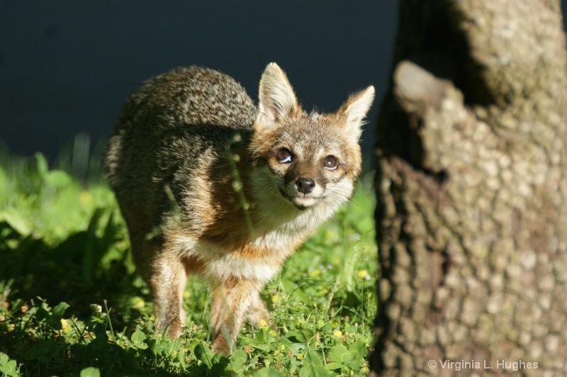 Grey Fox 2