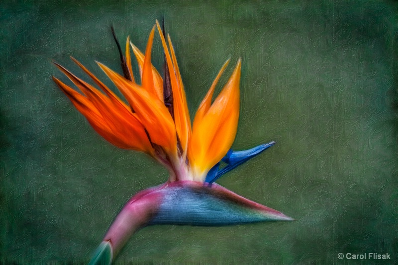 Beautiful Bird of Paradise