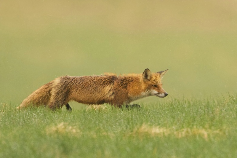 Red Fox Hunting in the Rain