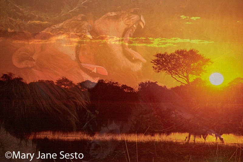 @Lion/Sunset.,Botswana