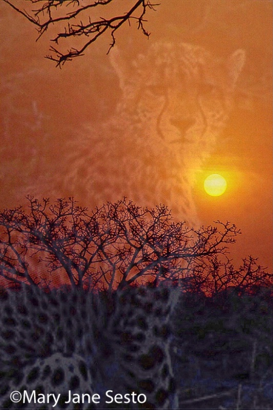 Cheetah/Sunset, South Africa