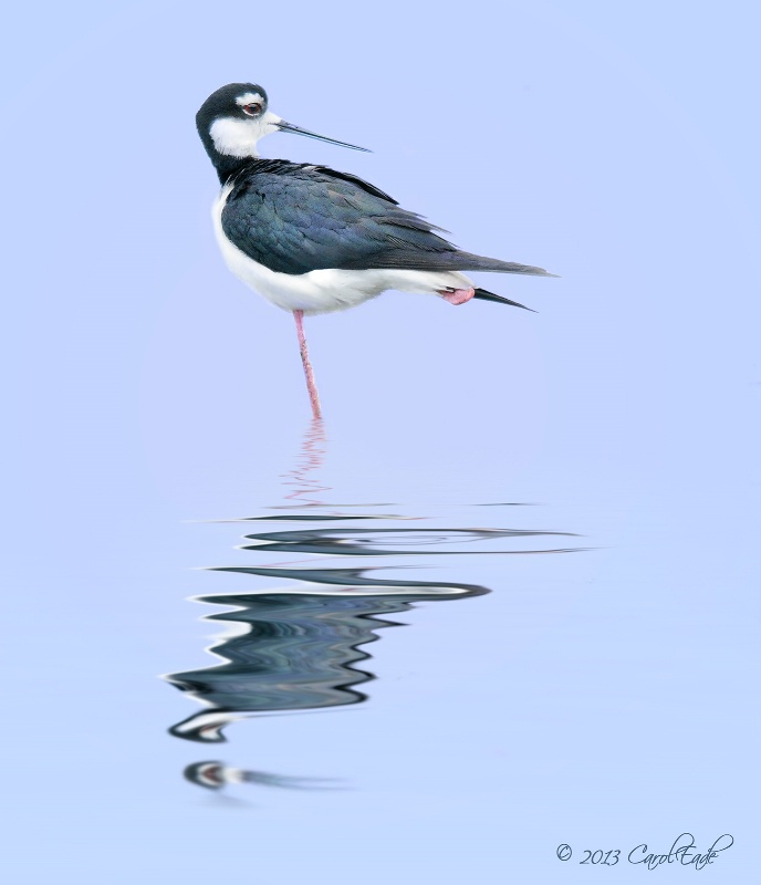 Long Neck Stilt