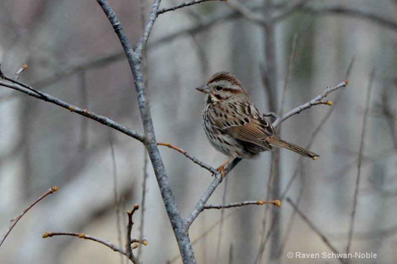 Song Sparrow Stephen Young Marsh