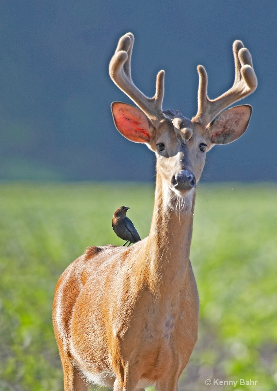 Whitetail being groomed