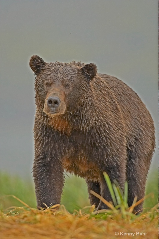 Coastal Grizzly