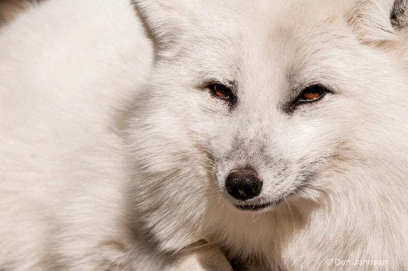 Arctic Fox #2