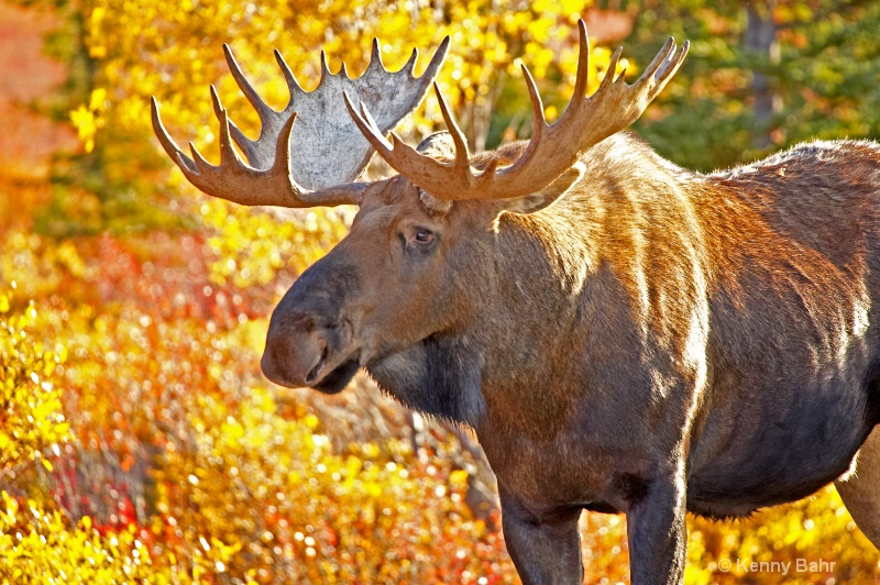 Bull Moose & autumn foilage
