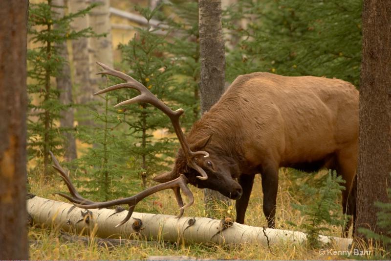 Elk rubbing