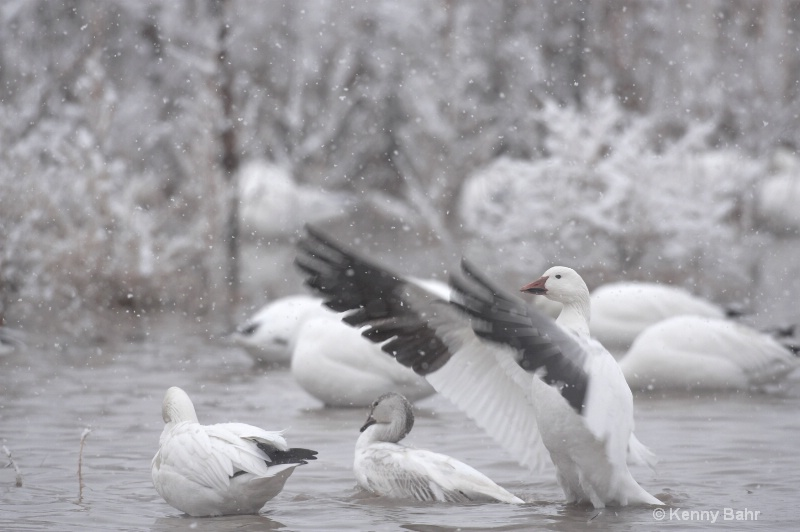 Snow Geese in snow storm