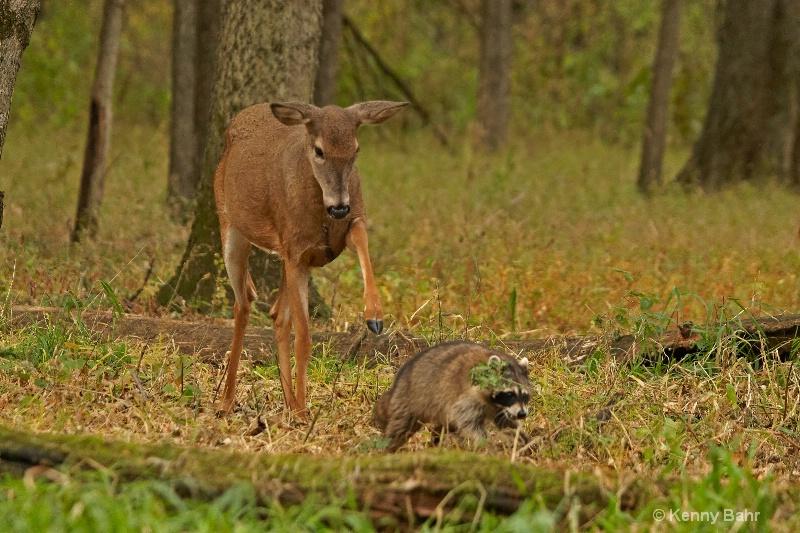 Doe and Raccoon