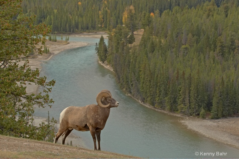 Bighorn above Athabasca Valley
