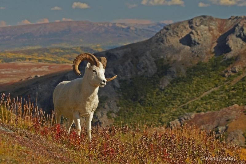 Dall's Ram in autumn
