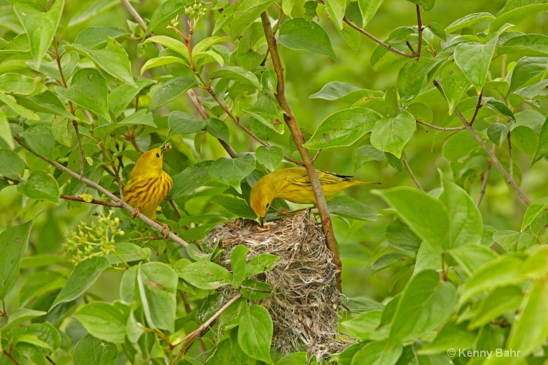 Yellow Warbler family