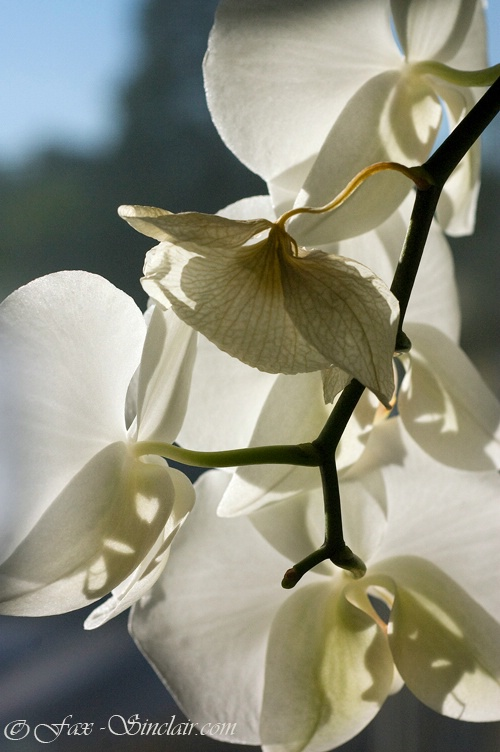 Orchid's Shadow