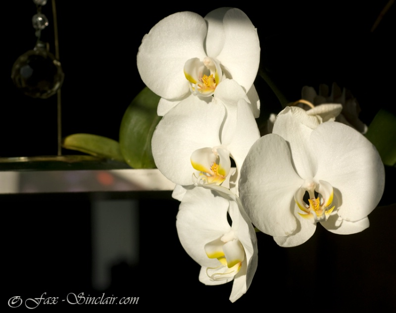 Orchids on the Shelf