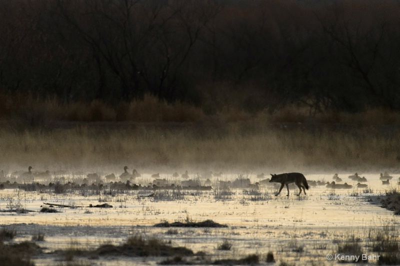 Coyote in morning mist