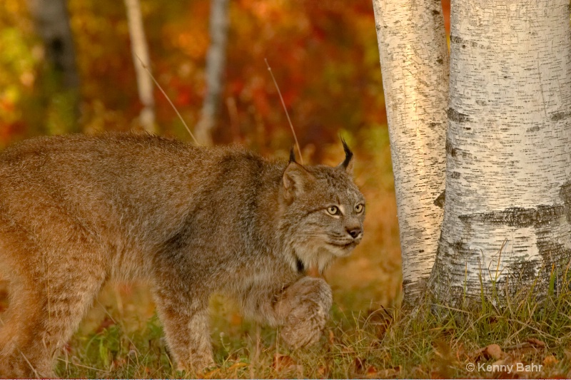 Lynx on the prowl