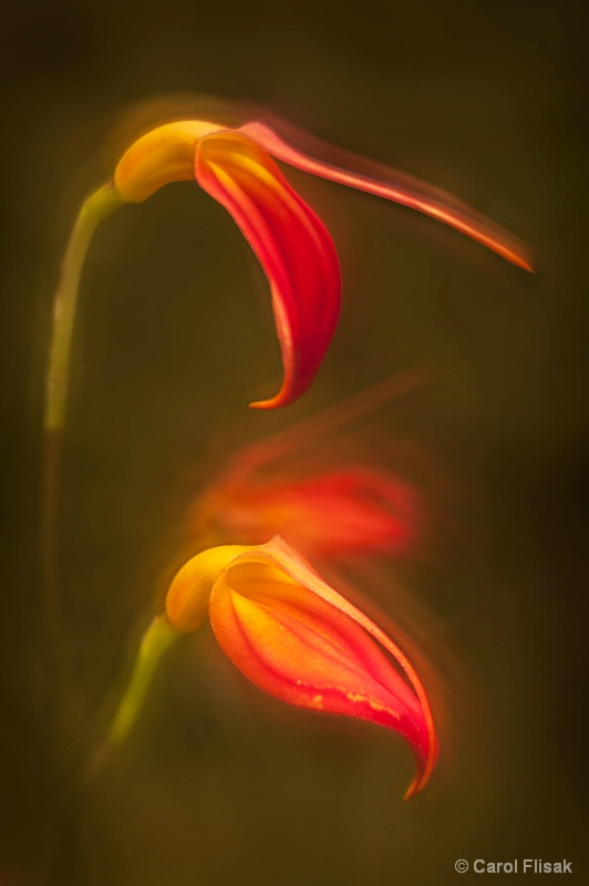 Fiery Orchid ~ Longwood Gardens