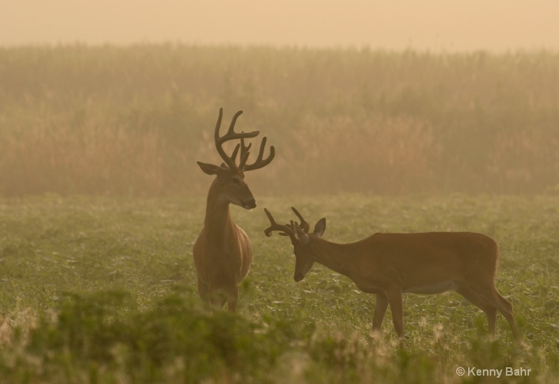 Misty morning Whitetails