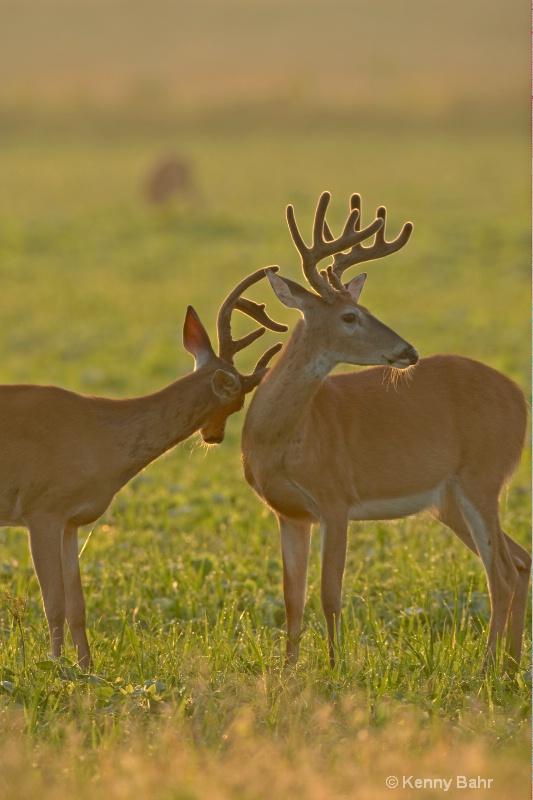 Sunrise Bucks