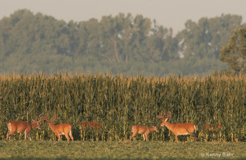 Whitetails in corn