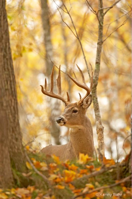 Whitetail Buck in autumn