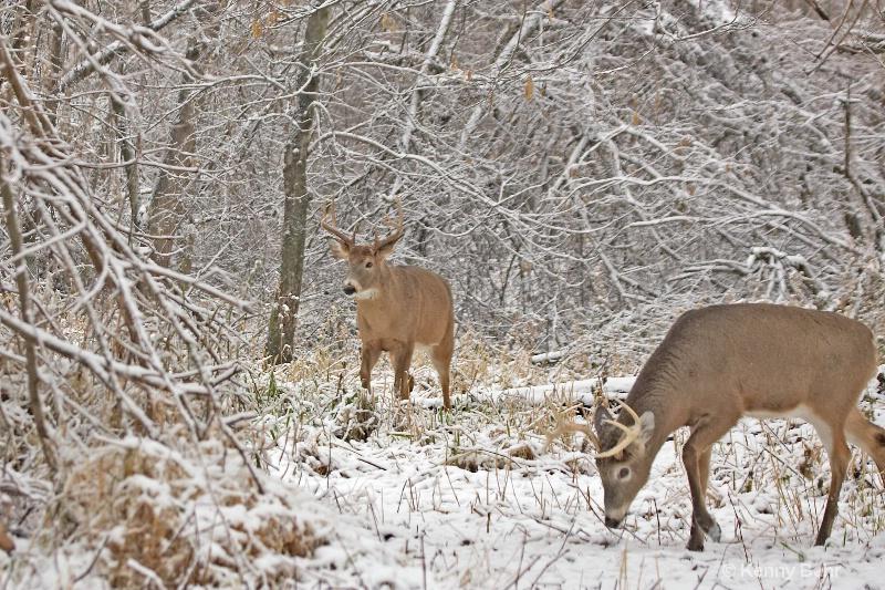 Whitetails in winter wonderland