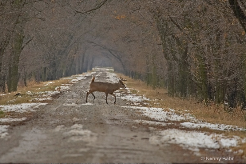 Whitetail Buck crossing road