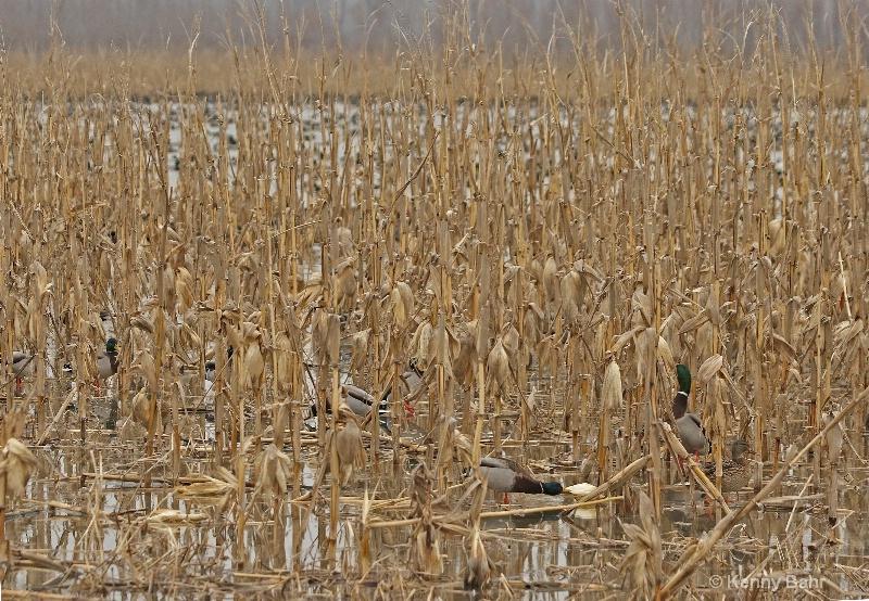 Mallards feeding on corn