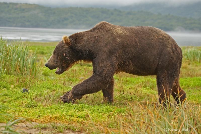 Battle scarred Brown Bear