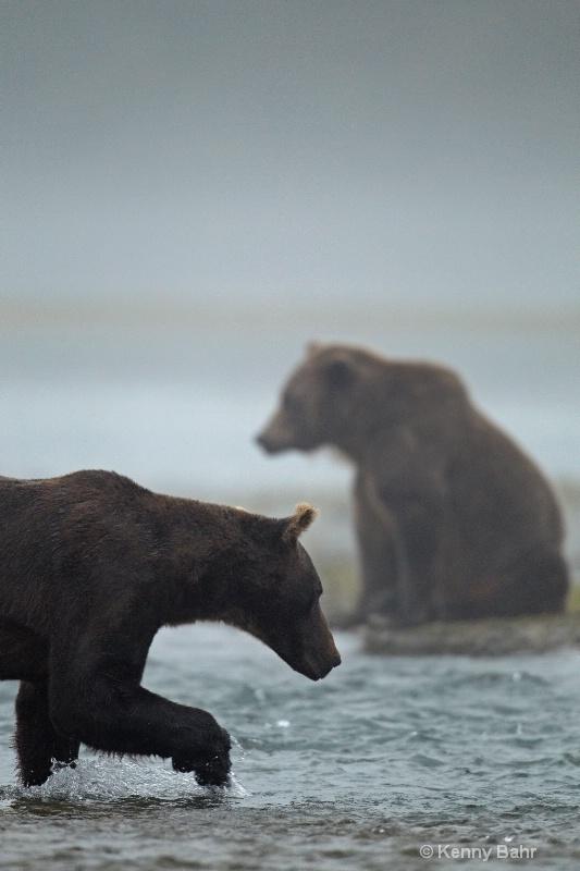 Brown Bears in morning fog