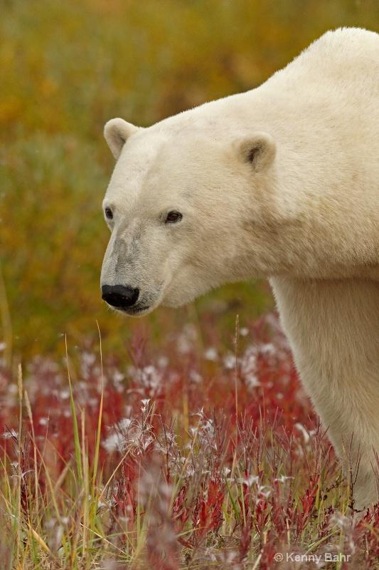 Polar Bear in fire-weed