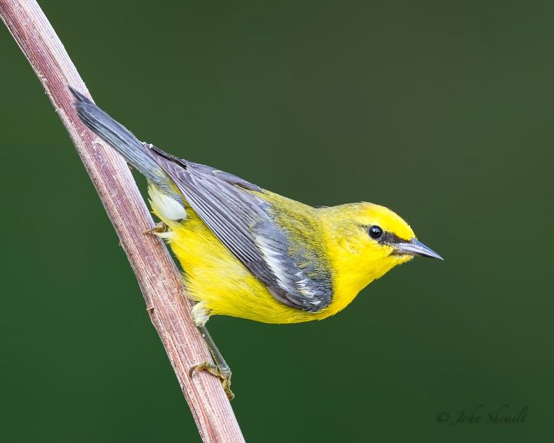 Blue-winged Warbler - Jun 26th, 2013