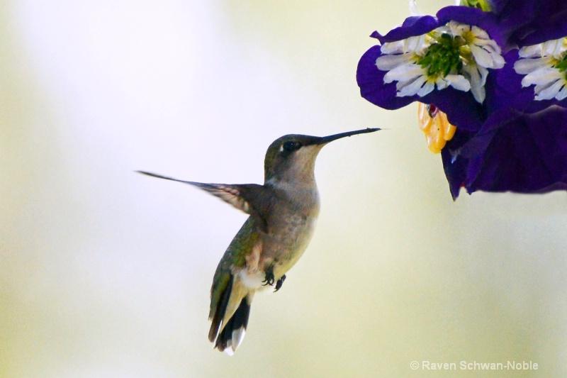 Ruby~Throated Hummingbird061913 026