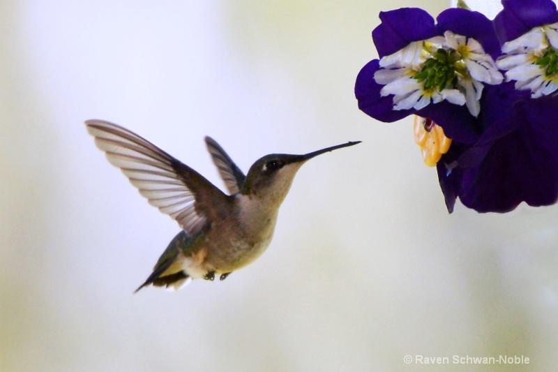 hummingbird061913 4x6   028
