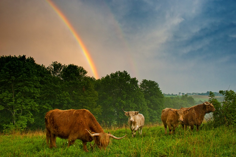 Cows and Rainbows
