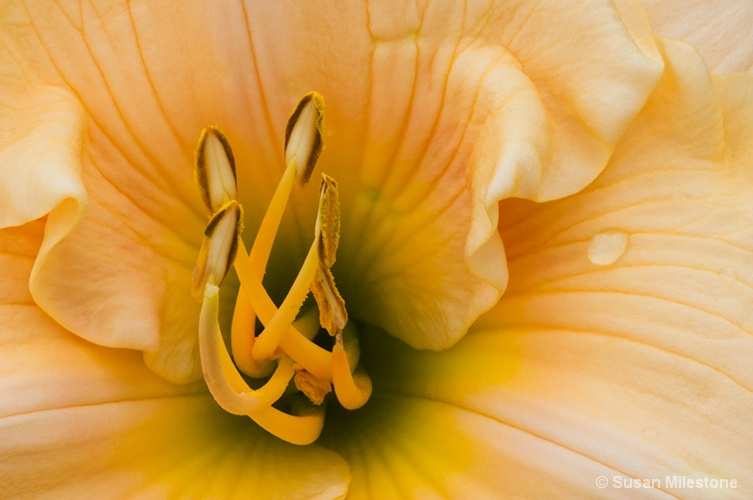 Yellow Lily 3864