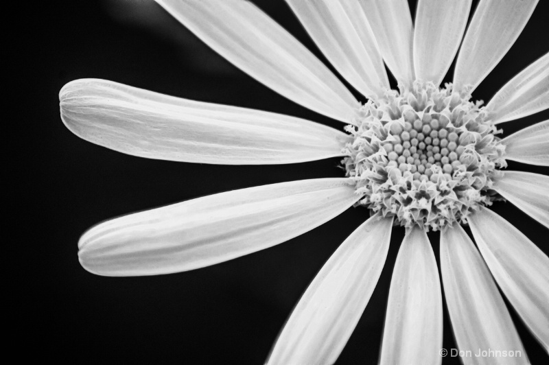 Another B&W Daisy-Fract