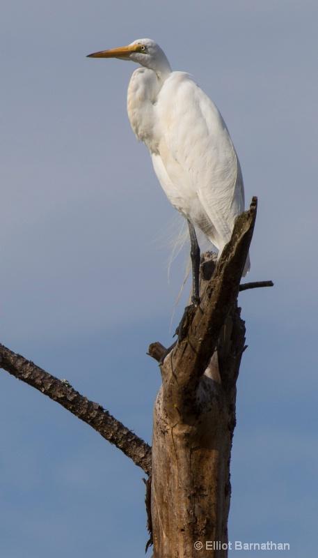 Great Egret - Chincoteague 67