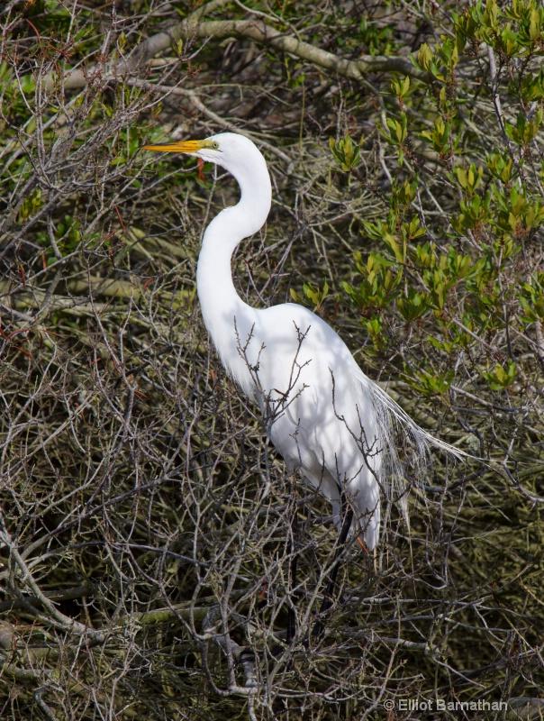 Great Egret - Chincoteague 66