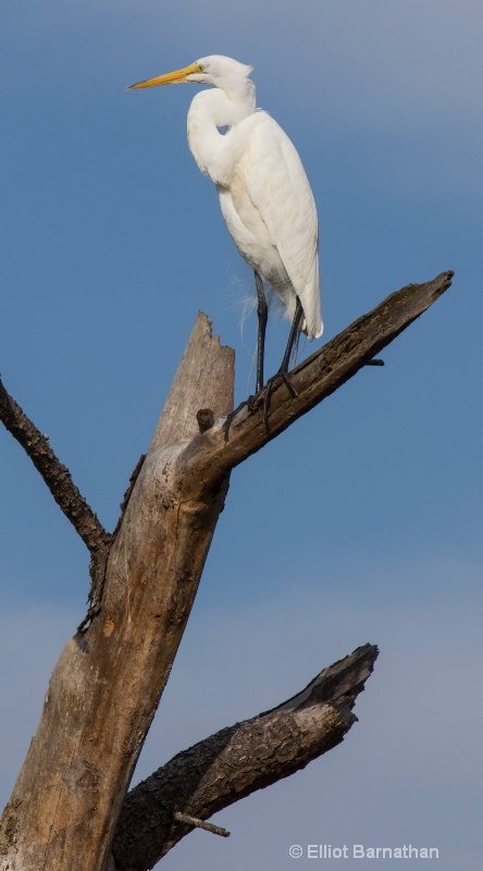 Great Egret - Chincoteague 65