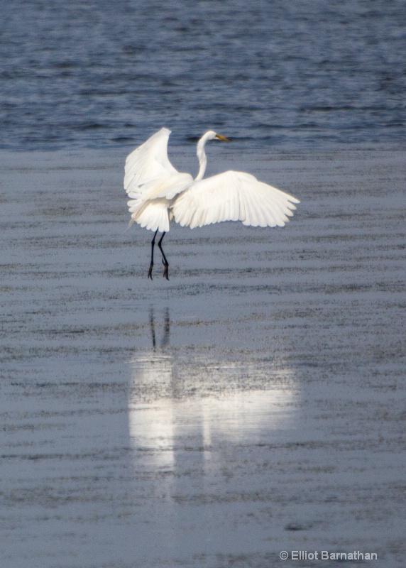 Great Egret - Chincoteague 62