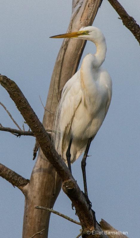 Great Egret - Chincoteague 53