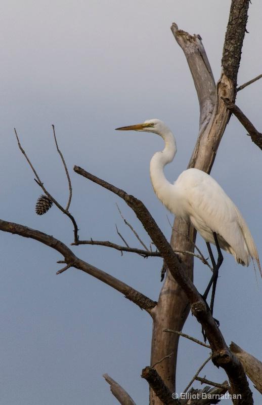 Great Egret - Chincoteague 52