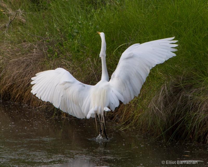 Great Egret - Chincoteague 51