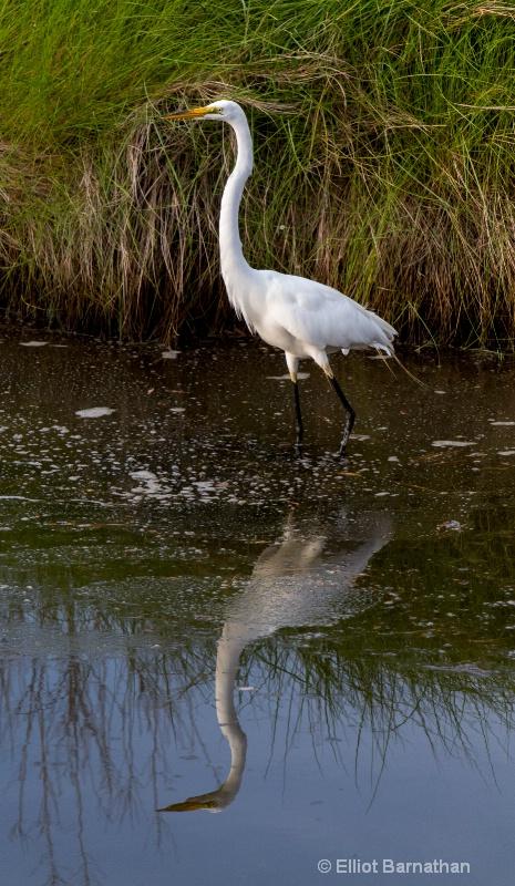 Great Egret - Chincoteague 50