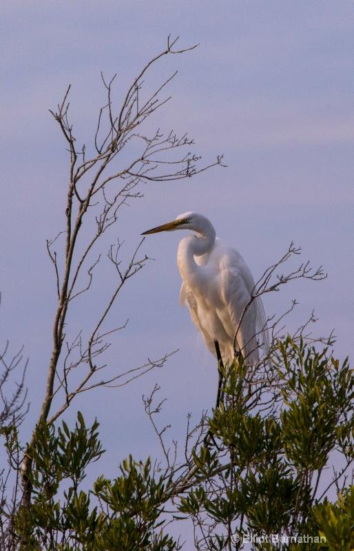 Great Egret - Chincoteague 49