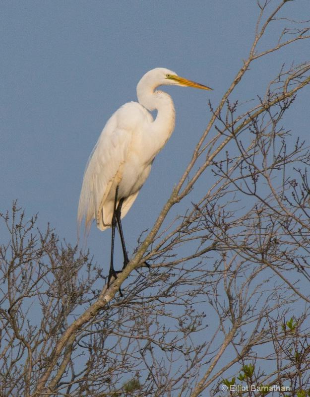 Great Egret - Chincoteague 48