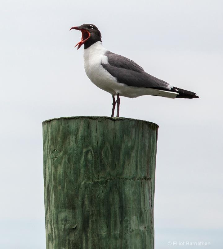 Laughing Gull (Larus atricilla) - Chincoteague 38