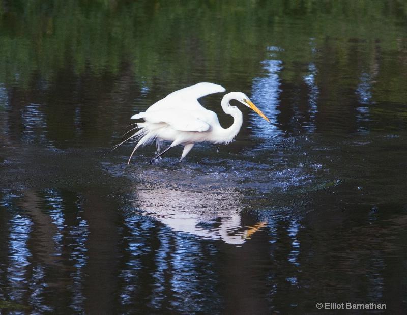 Great Egret - Chincoteague 30